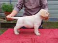 labradori-vrhunsko-leglo-small-2