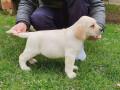 labradori-vrhunsko-leglo-small-3