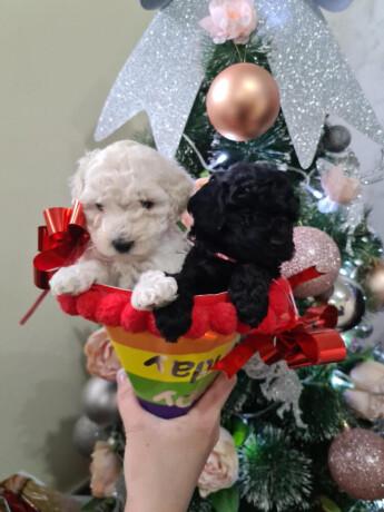 u-ponudi-toy-pudle-big-1