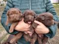cokoladni-labradori-vrhunskog-porekla-small-2
