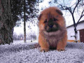 chow-chow-muski-stenci-na-prodaju-small-1