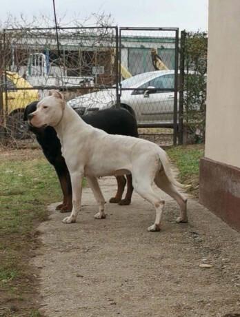 zenka-argentinskog-psa-big-2
