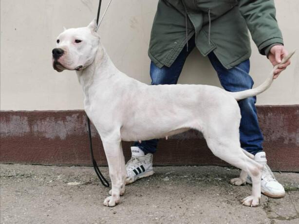 zenka-argentinskog-psa-big-1