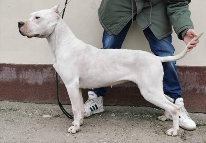 zenka-argentinskog-psa-big-0