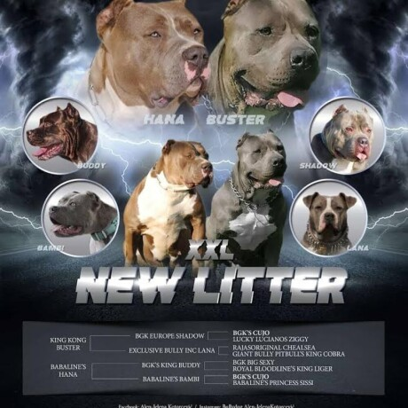 american-bully-xxl-stenci-big-0