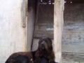 srednjeazijski-ovcar-stenci-small-3