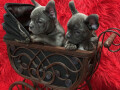 francuski-buldog-blue-dva-muzjaka-small-2