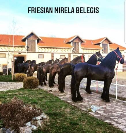 frizijski-konji-prodaja-big-0