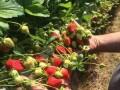 sadnice-najboljih-sorti-jagoda-small-0