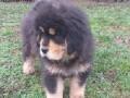 tibetski-mastif-vrhunskozdravo-musko-stene-na-prodaju-small-1