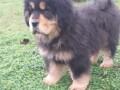 tibetski-mastif-vrhunskozdravo-musko-stene-na-prodaju-small-4