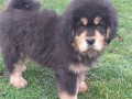 tibetski-mastif-vrhunskozdravo-musko-stene-na-prodaju-small-3
