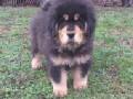 tibetski-mastif-vrhunskozdravo-musko-stene-na-prodaju-small-2
