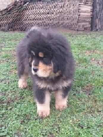 tibetski-mastif-vrhunskozdravo-musko-stene-na-prodaju-big-1