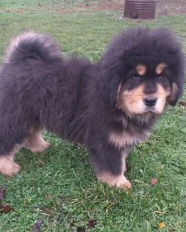 tibetski-mastif-vrhunskozdravo-musko-stene-na-prodaju-big-0