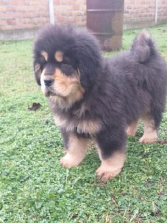 tibetski-mastif-vrhunskozdravo-musko-stene-na-prodaju-big-4