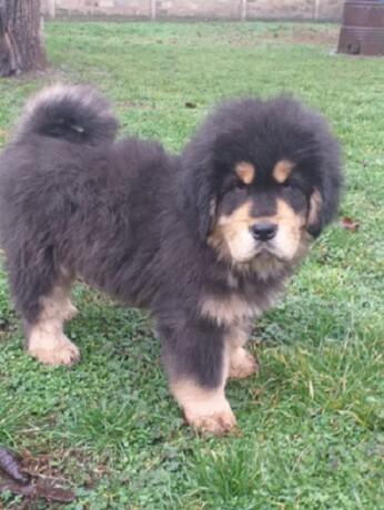 tibetski-mastif-vrhunskozdravo-musko-stene-na-prodaju-big-3