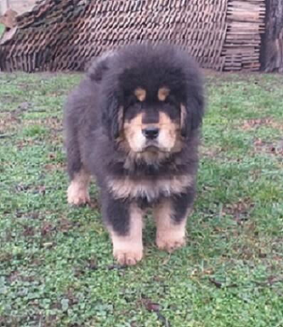 tibetski-mastif-vrhunskozdravo-musko-stene-na-prodaju-big-2