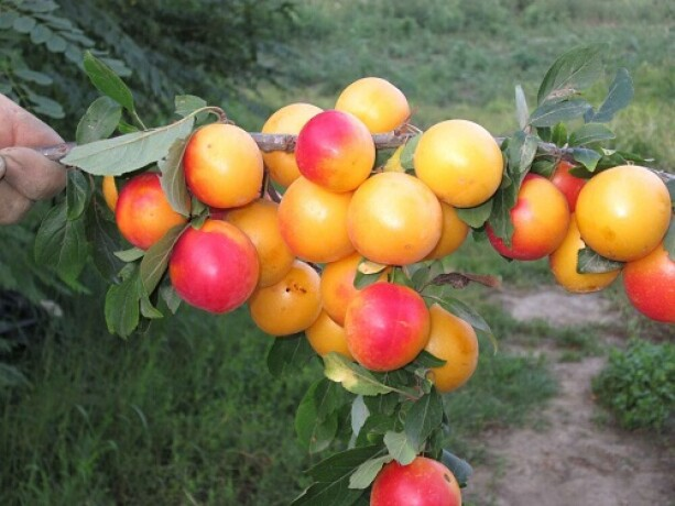 kvalitetne-sertifikovane-vocne-sadnice-iz-rasadnika-antic-big-4