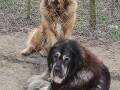 tibetski-mastif-stenci-small-4