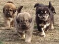 tibetski-mastif-stenci-small-1