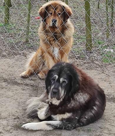 tibetski-mastif-stenci-big-4