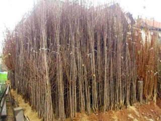 Sadnike NASTIC DRAGANA - razne vocne sorte