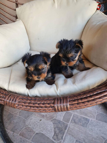 preslatke-male-bebice-yorkija-big-3