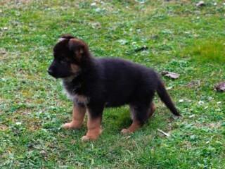 Nemački ovčar, štenci
