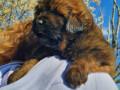 tibetanski-mastif-stenci-small-1