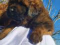 tibetanski-mastif-stenci-small-0
