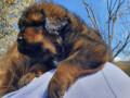 tibetanski-mastif-stenci-small-2