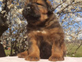 tibetanski-mastif-stenci-small-4