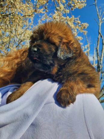 tibetanski-mastif-stenci-big-1
