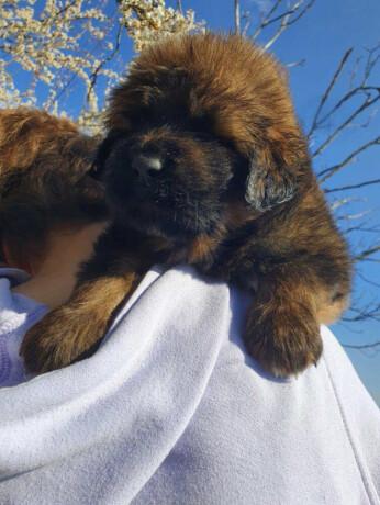 tibetanski-mastif-stenci-big-3