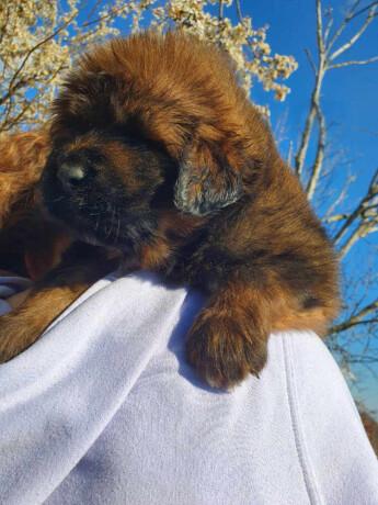 tibetanski-mastif-stenci-big-0