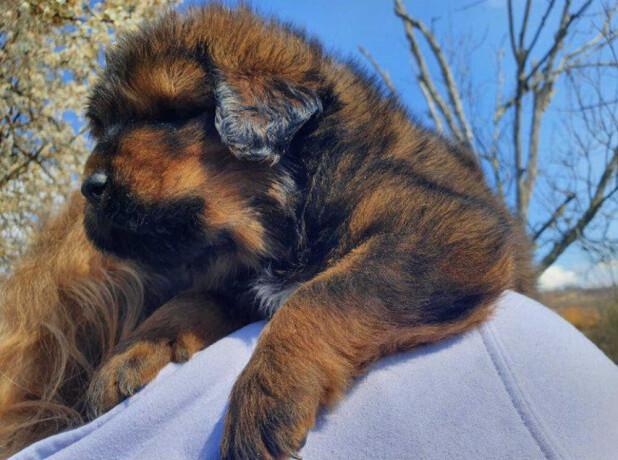 tibetanski-mastif-stenci-big-2