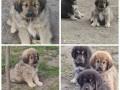 tibetski-mastif-stenci-small-2