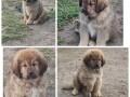 tibetski-mastif-stenci-small-3