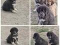 tibetski-mastif-stenci-small-0