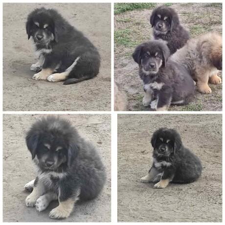 tibetski-mastif-stenci-big-1