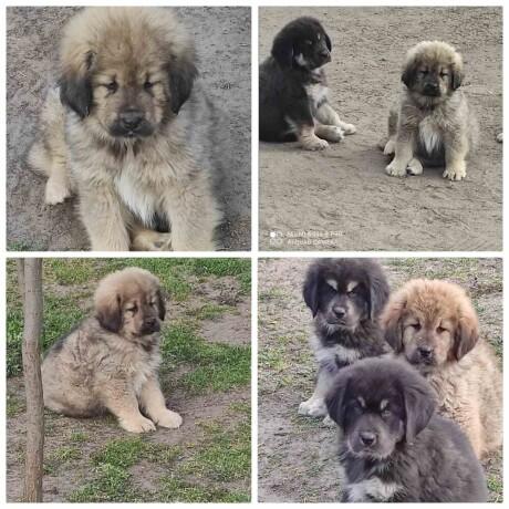 tibetski-mastif-stenci-big-2