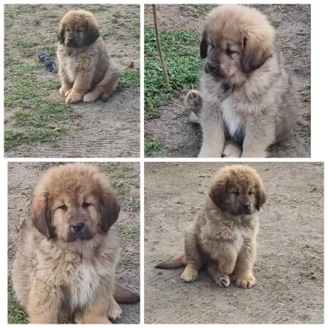 tibetski-mastif-stenci-big-3