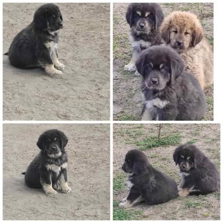 tibetski-mastif-stenci-big-0