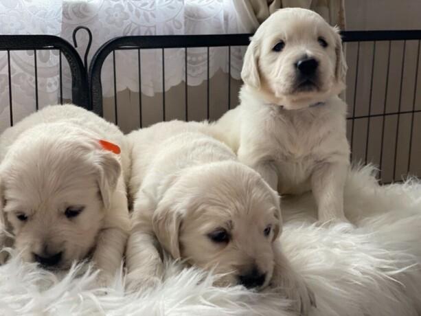 zlati-prinasalec-z-zvezdicami-prvakov-5-zvezdic-pedigree-kc-puppies-big-2