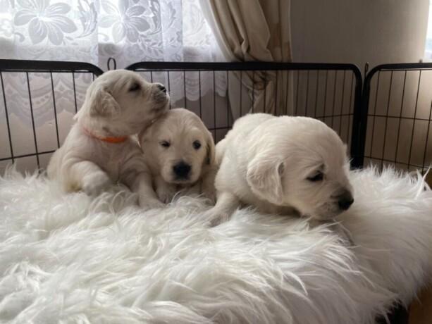 zlati-prinasalec-z-zvezdicami-prvakov-5-zvezdic-pedigree-kc-puppies-big-0