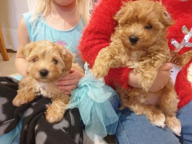 maltipoo-pups-now-ready-big-0
