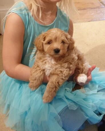 maltipoo-pups-now-ready-big-2