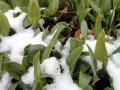 lukovice-sremusa-starosti-3-4-godine-small-0
