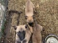 belgijski-ovcar-malinoa-prelepezenkice-small-2